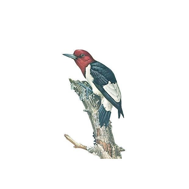 Vintage Wild Bird Hand-Colored Engraving - Image 2 of 2