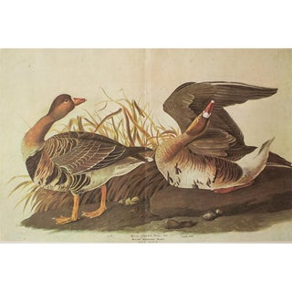 1966 Cottage Print of White-Fronted Goose by Audubon For Sale