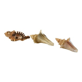 Natural Conch Shells - Set of 3