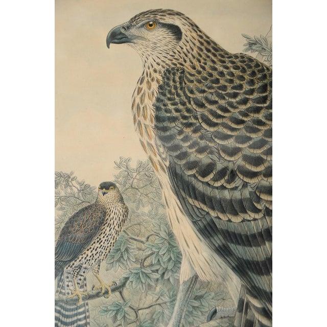 "John Gould ""Erythrotriorchis Dorlae"" Bird Lithograph - Image 4 of 7"