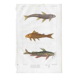 Antique Color Fish Engraving 1825 For Sale