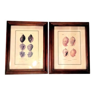 Framed Hand-Colored Seashell Specimens Engraving Prints - a Pair For Sale