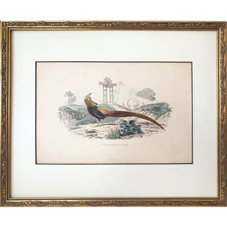 Antique French Lithograph of a Chinese Pheasant For Sale
