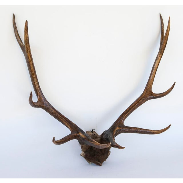 10-Point Elk Antlers - Image 2 of 4