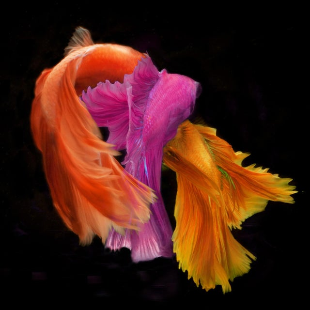 Color Photograph of Several Male Betta Fish Swimming on Black. Printed on Archival Fine Art Paper