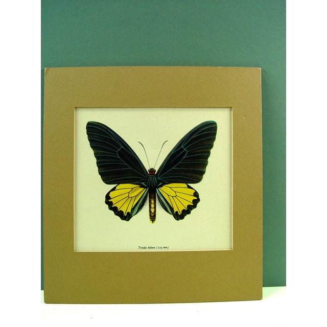 "Lithograph of a butterfly, circa 1950. Unframed. Displayed with mat and backing. Opening, 7.5""L x 7""H. Age toning."