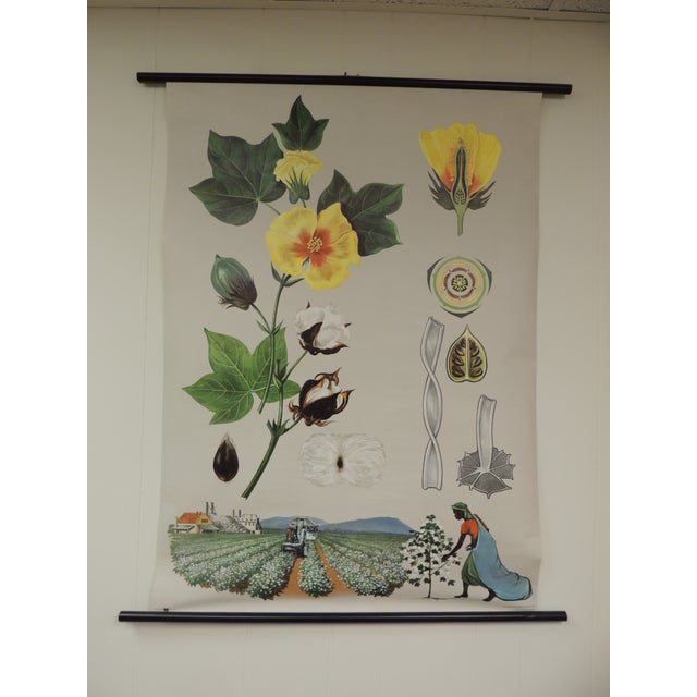 """Vintage Botanical West German Biology Print """"Cotton"""" by Hagemann, Germany, 1969 For Sale In Miami - Image 6 of 6"""
