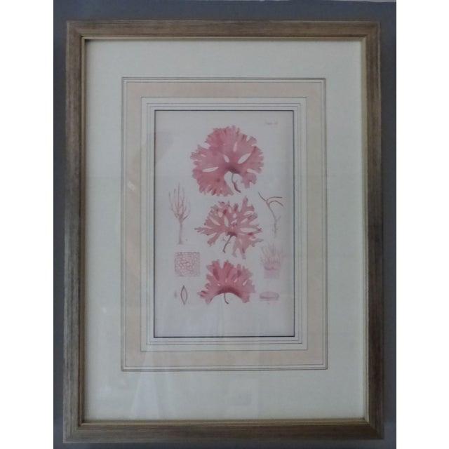 Antique Seaweed Engravings - Set of 8 - Image 4 of 8