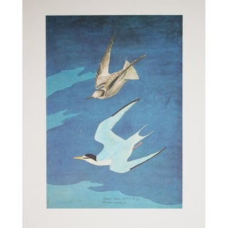 1966 Large Lithograph of Lesser Tern by Audubon For Sale