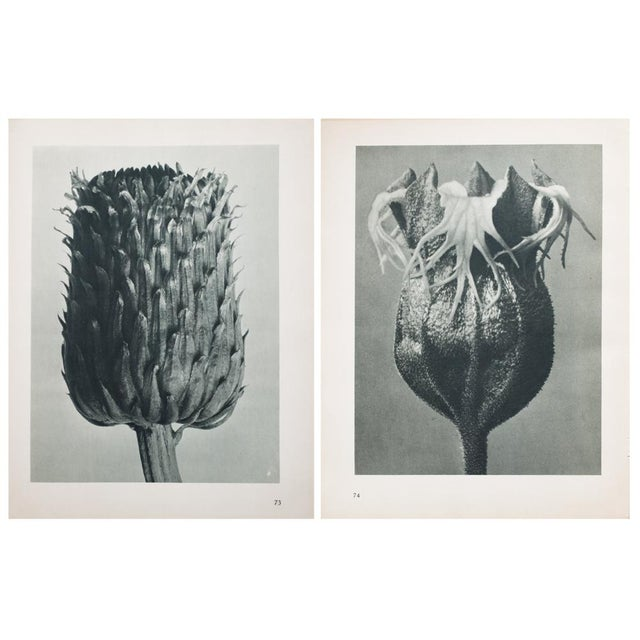 Blossfeldt Double Sided Photogravure - Image 6 of 11