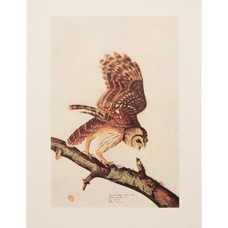 1960s Cottage Lithograph of Barred Owl by Audubon For Sale