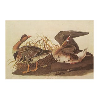 White-Fronted Goose by Audubon, XL Vintage Cottage Print For Sale