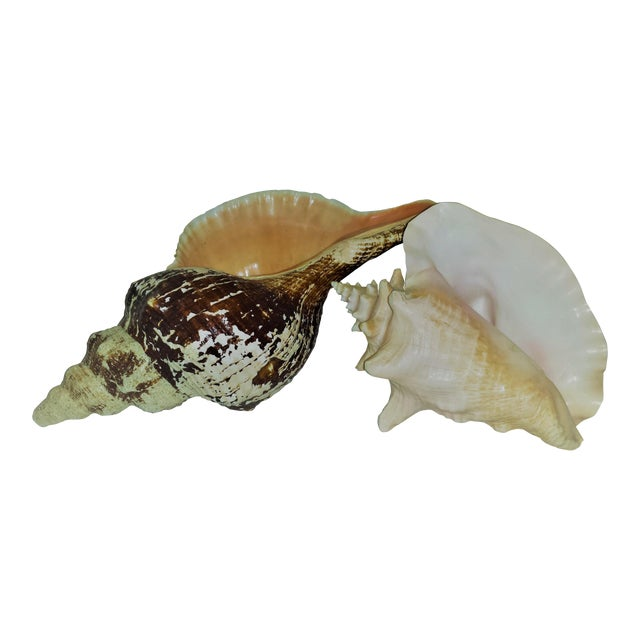 Huge Nautical Natural Conch Shells - a Pair For Sale