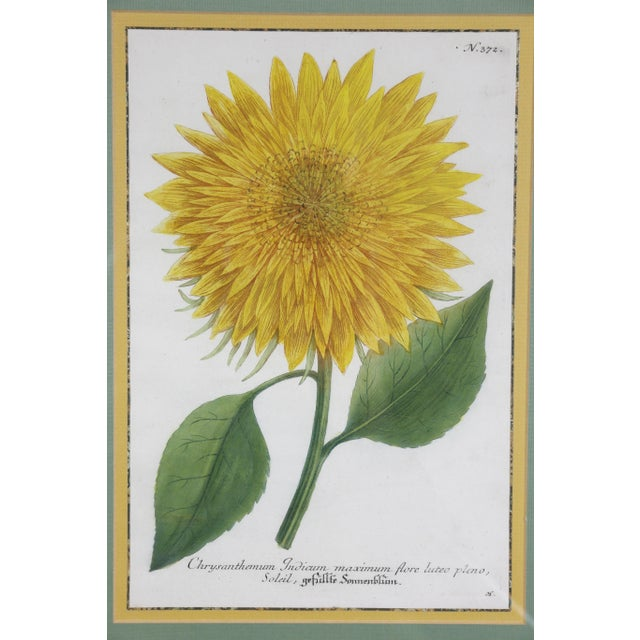 "Boho Chic ""Sunflowers"" Hand Colored Botanical Engravings - Set of 4 For Sale - Image 3 of 6"