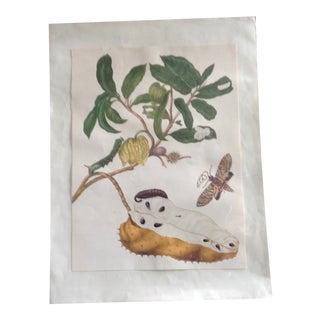 Vintage Botanical Chromolitograph For Sale