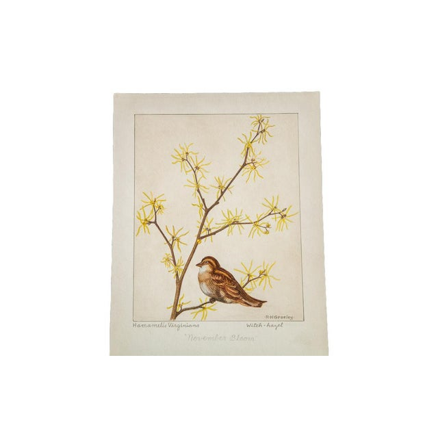 R.H. Greeley Witch-Hazel Botanical Watercolor For Sale