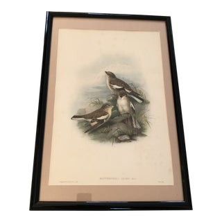 Mid 19th Century Antique John Gould Adams Mountain-Finch Print For Sale