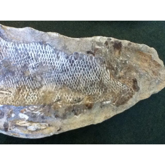 Silver Fossil Fish Concretion from Brazil For Sale - Image 8 of 8