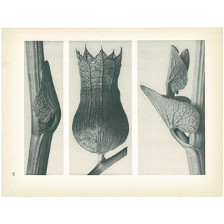 1928 Karl Blossfeldt Original Period Photogravure N59 of Aristolochia Clematitis Preview