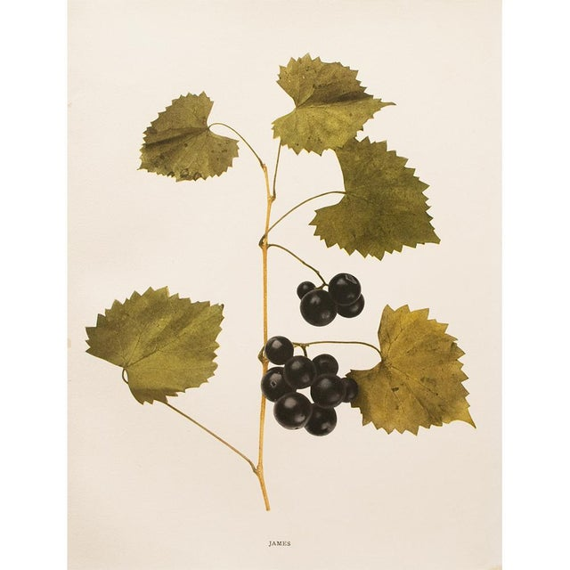 American Classical 1900s Original Grapes Photoengravings by Hedrick - Set of 2 For Sale - Image 3 of 12