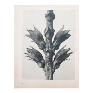 1930s Botanical Karl Blossfeldt Photogravure