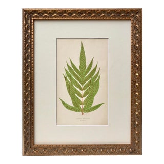Antique 19th C. Lithograph of Fern by Edward J. Lowe London For Sale