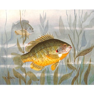 Antique Sun Fish, Sunfish Print 1909, Matted For Sale