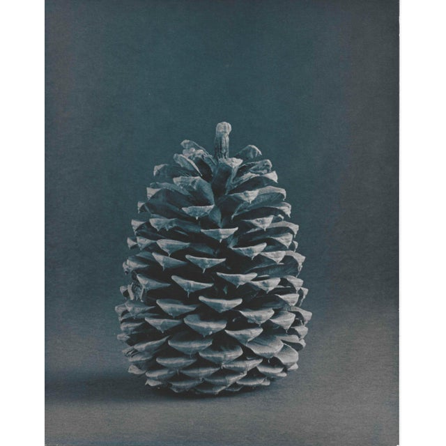 1980s Pine Cone Cyanotype by Garo 1980s Photo For Sale - Image 5 of 5