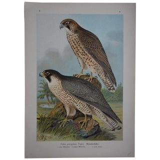Antique Lithograph Birds of Prey - Large Folio For Sale