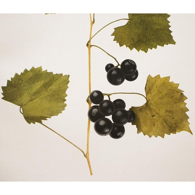 Green 1900s Original Grapes Photoengravings by Hedrick - Set of 2 For Sale - Image 8 of 12