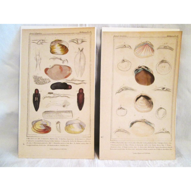 Shell Engravings, C. 1840 - Pair - Image 2 of 11