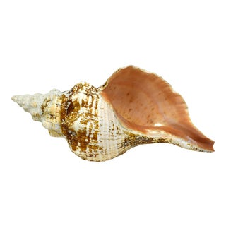 Vintage Natural Horse Conch Shell Nautical Coastal Decor For Sale