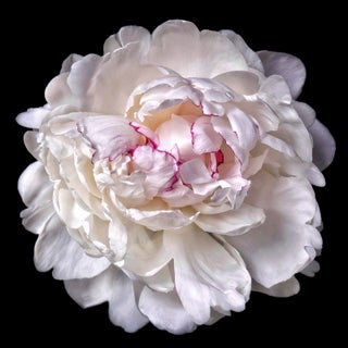 "Photographic Botanical Print, ""Pavlova"" by Artist Debi Shapiro For Sale"