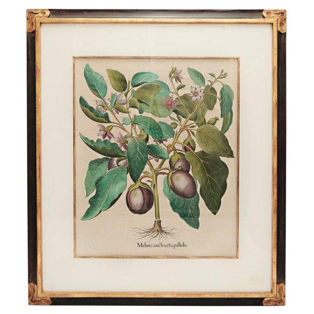Basil Besler Botanical Print For Sale