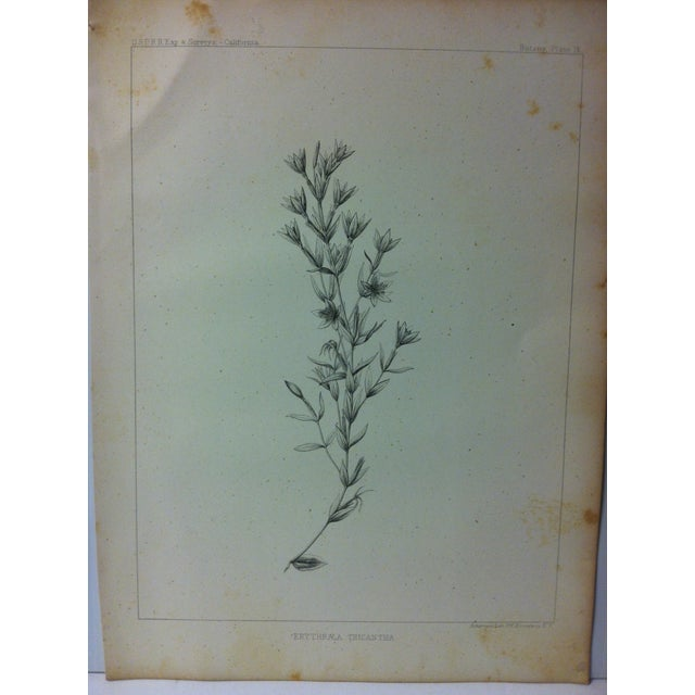 "This is a Nice Antique Botany Lithograph Print on Paper that is titled ""Erythraea Tricantha"". The Print was Published by..."