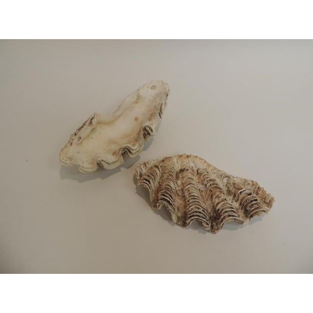 Vintage Half Clam Sea Shells - a Pair - Image 3 of 5