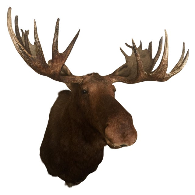 Alaskan Moose Taxidermy Shoulder Mount - Image 1 of 5