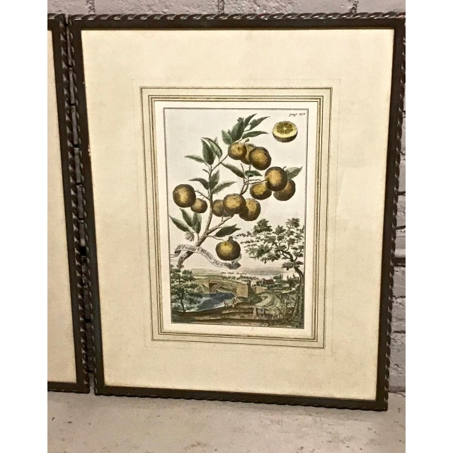 This is a great pair of J. C. Volkamer hand-colored botanical engravings that date to 1708-1714. The folios are well-...