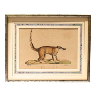 """Mid 19th Century Antique """"Coati Rouge, Mâle"""" Framed French Print"""