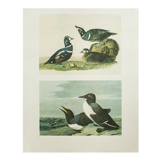 1966 Cottage Print of Harlequin Duck and Common Murre by Audubon For Sale