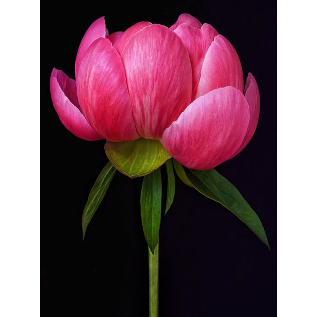 "Contemporary signed fine art photographic print ""Bloom"" by Artist Debi Shapiro. Among the first peonies to bloom Peoney..."