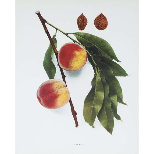Contemporary 1900s U. P. Hedrick, Original Fruits Photogravures - Set of 4 For Sale - Image 3 of 7