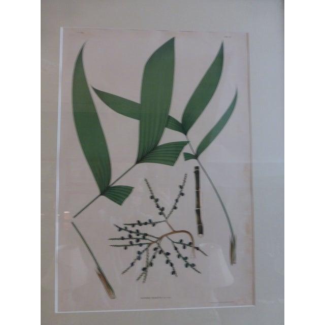 1903 Palm Engravings by Joao Barbosa Rodrigues - Image 4 of 8