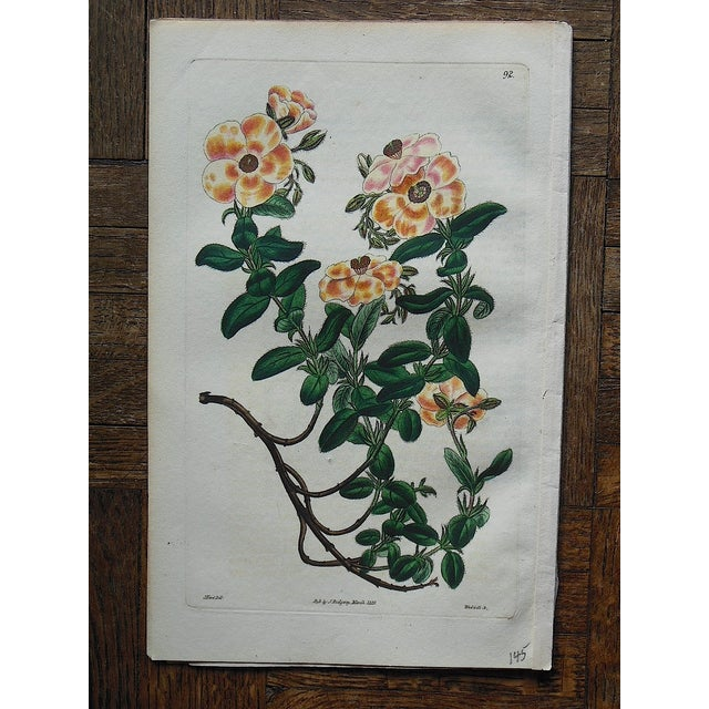 Antique Botanical Engravings- A Pair - Image 4 of 5