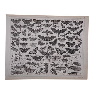 Antique-Lithograph-Insects For Sale