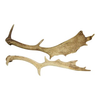Naturally-Shed Moose Antlers - a Pair