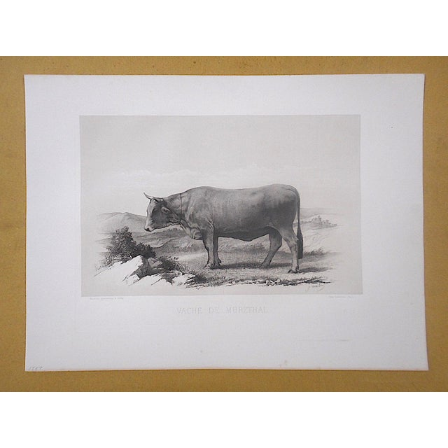 Extremely fine authentic antique engraving from a series depicting various purebred cattle. Not only very well drawn and...