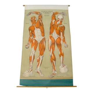 Vintage Wall Chart Poster Human Anatomy Muscular System Scientific Illustration For Sale