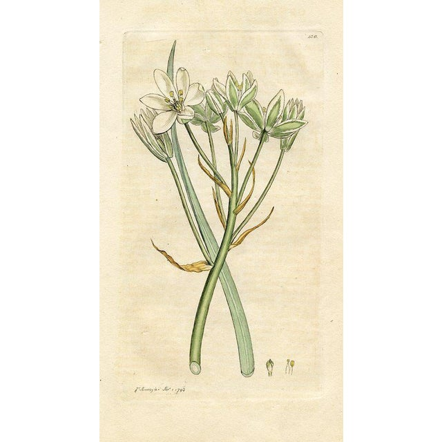Star of Bethlehem, Antique Botanical Print, 1793 For Sale