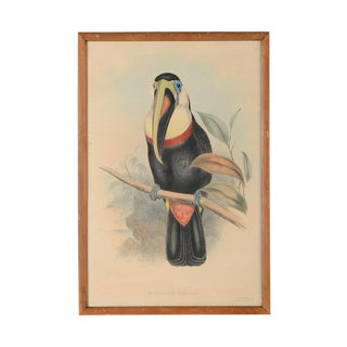 "John Gould ""Ramphatos Inca-Toucan"" Bird Litho. For Sale"